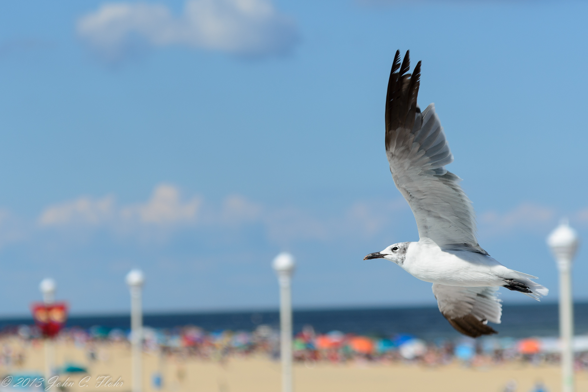 Ocean City Seagull, Ocean City, MD USA