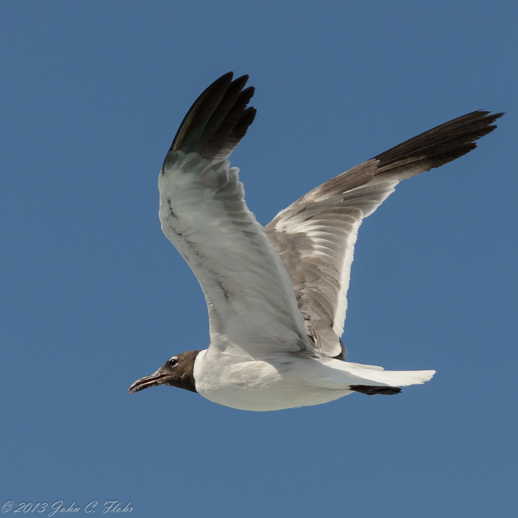 Seagull Fly-by, Ocean City, Maryland USA